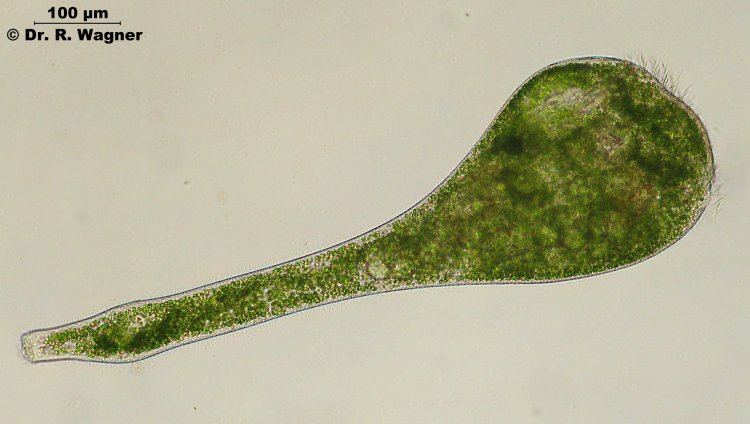 Latin Names For Protists 69